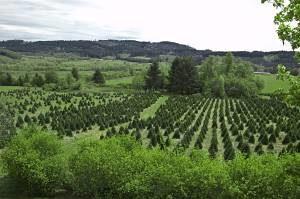 a christmas tree farm in oregon